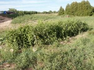 tomato thicket