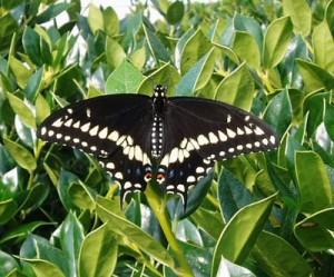 Raising Butterflies - Raising Swallowtail Butterflies on Parsley - a Homeschooling experiment. Watch the larva grow and pupate into butterflies.