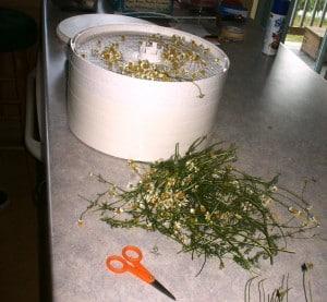dehydrating chamomile