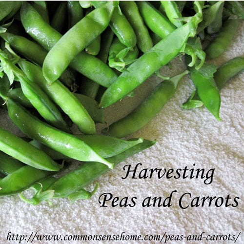 Harvesting Peas and Carrots and How to Freeze Peas