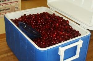 cherries in cooler