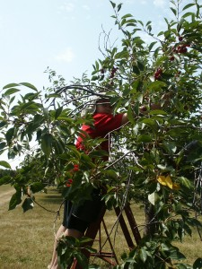 cub picking cherries