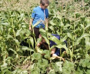 duncan in corn