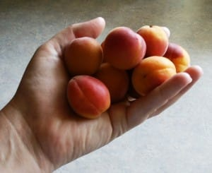 apricots in hand