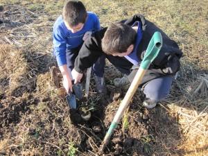 boys digging parsnips