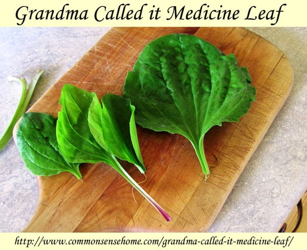 "Grandma called it Medicine leaf - common plantain, known as ""life medicine"" can be used for treating bites and stings, sunburn and other skin ailments."