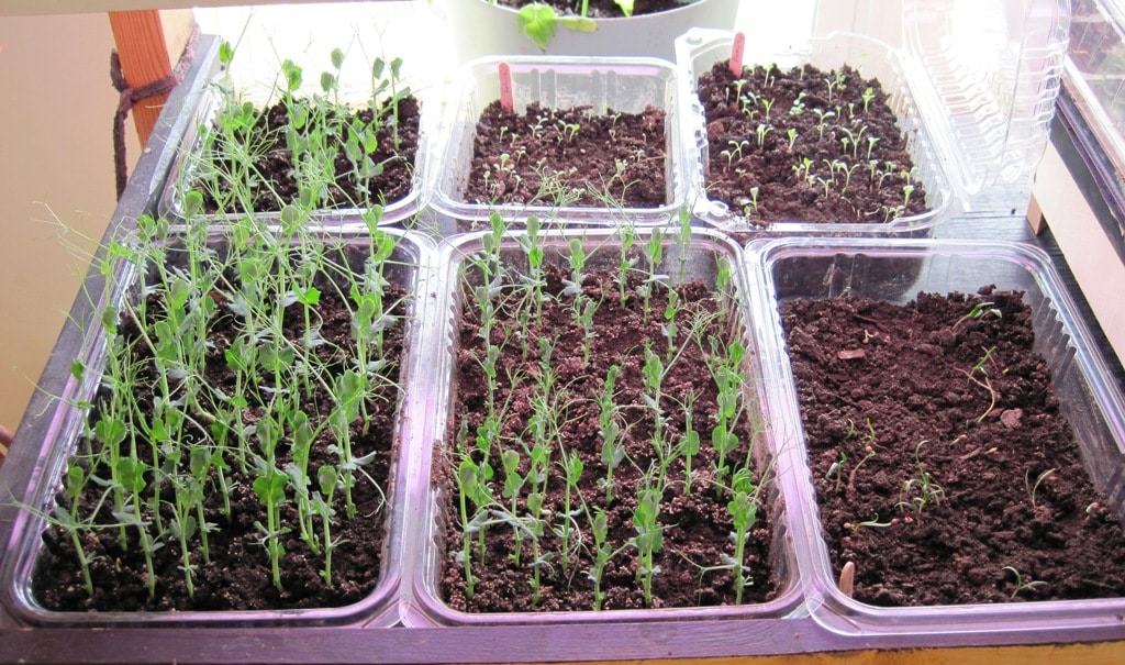 Fresh Food in Winter - Sprouts - Pea sprouts and salad greens growing in indoor trays
