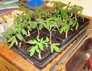 transplanting seedlings 2