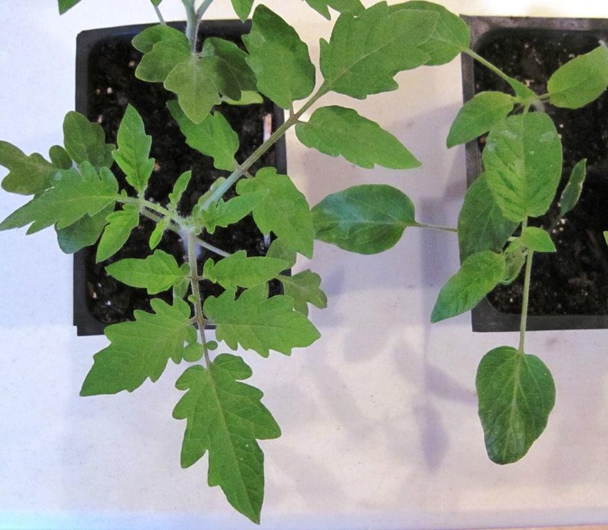 seedling comparison - tomato leaf and potato leaf tomatoes