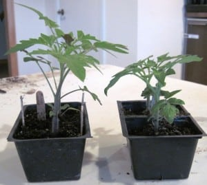 seedling comparison 4