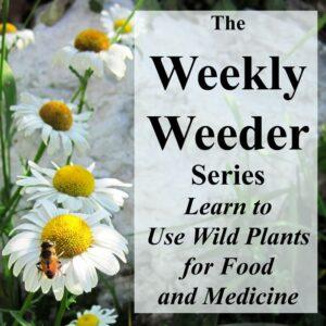 Common Chickweed - Stellaria media - Weekly Weeder #2
