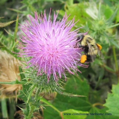 Thistle - Weekly Weeder #3 - range and identification, uses for food and medicine, wildlife uses