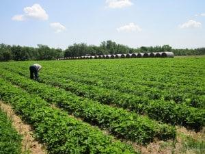 strawberry field kraynik's