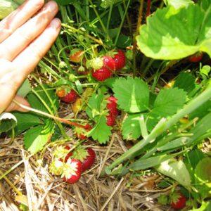 kraynik strawberries on plant