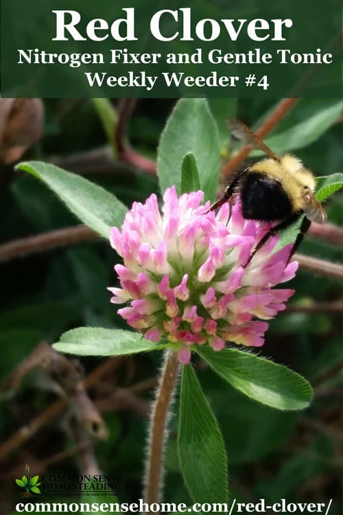 Red clover, Trifolium pratense - range and identification, wildlife uses, harvesting and using red clover for food and medicine.