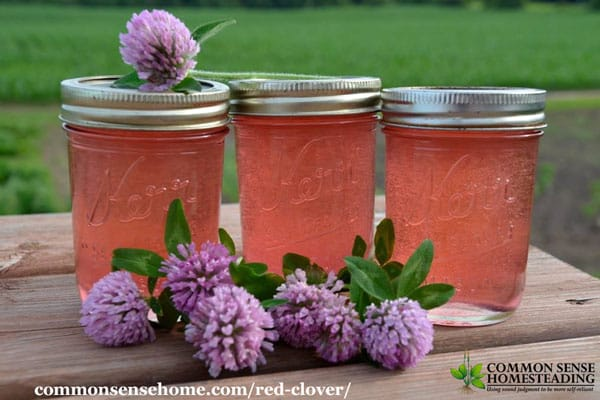 This red clover jelly recipe is one way to use an abundance of clover blossoms.