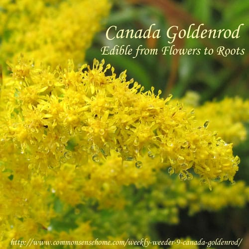 Canada Goldenrod, Solidago canadensis - Edible from Flowers to Roots