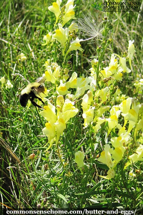 Butter and Eggs, Linaria vulgaris, also known as wild snapdragon. Range and identification. Uses for wildlife, medicine and as a dyeing plant.