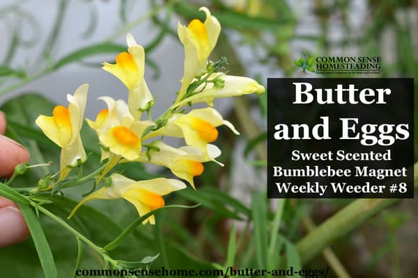 Butter and Eggs - Sweet Scented Bumblebee Magnet - Weekly