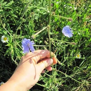 Chicory, Chicorium intybus - Weekly Weeder #5