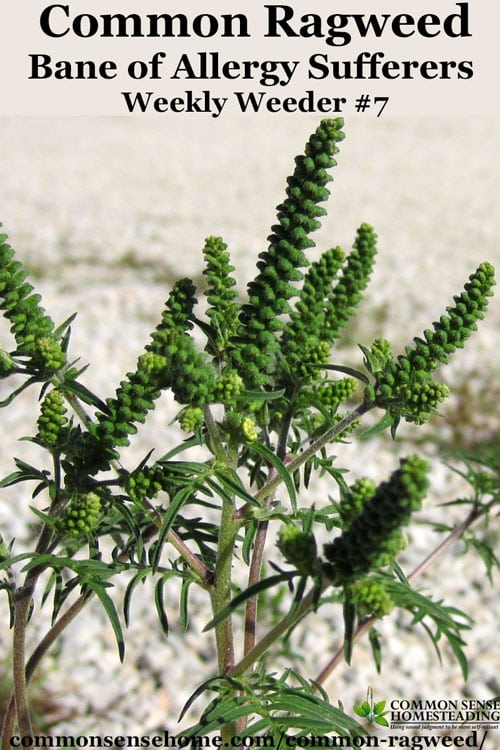 Common Ragweed - Ambrosia artemisiifolia- range and identification, ragweed as food and habitat for wildlife, medicinal uses of ragweed, ragweed control.