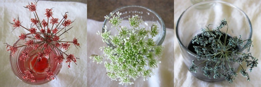 Queen Anne's Lace - Weekly Weeder #6