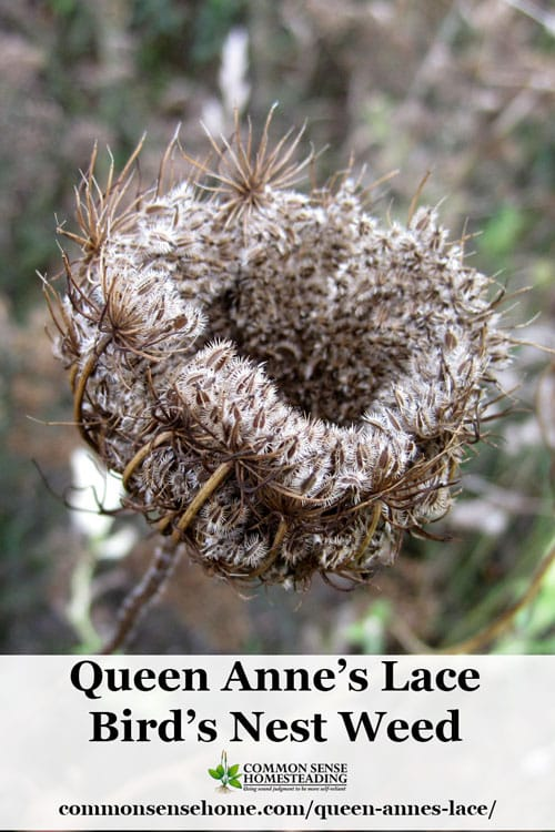 Queen Anne's lace plant (Daucus Carota) also known as wild carrot. Weekly Weeder #6 - Range and identification, food and medicinal use, craft uses.
