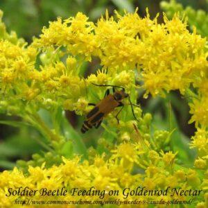 soldier-beetle