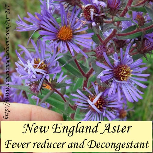 Weekly Weeder #12 - New England Aster - Fever reducer and decongestant, and food for migrating monarch butterflies.