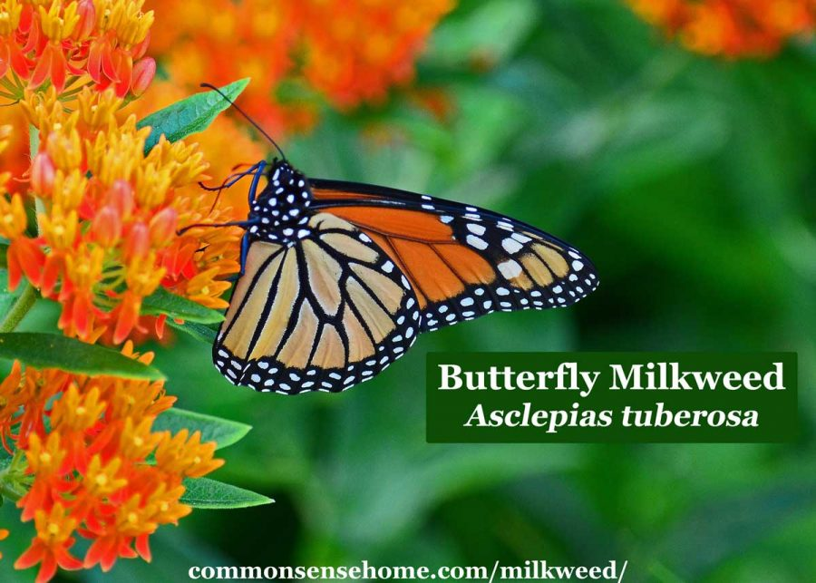 Asclepias tuberosa flowers with monarch butterfly