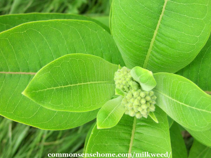 common milkweed leaves