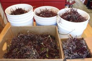 elderberry buckets