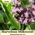 milkweed plant with flowers