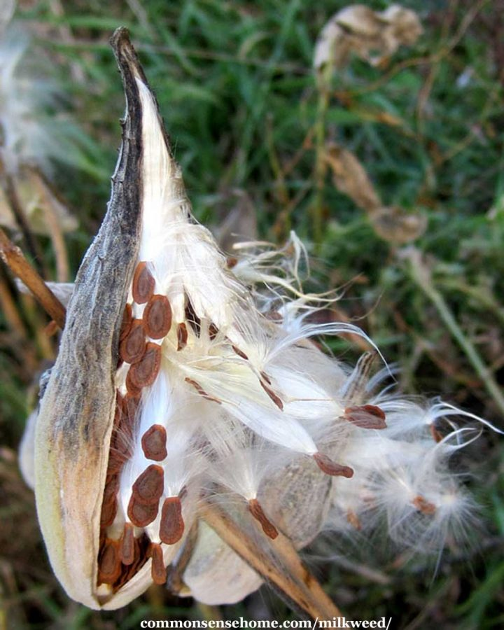 mature milkweed seed pod with seeds and fluff