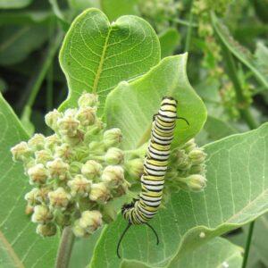Common Milkweed range and identification, milkweed as food and habitat for wildlife, milkweed is edible/how to eat milkweed, milkweed history