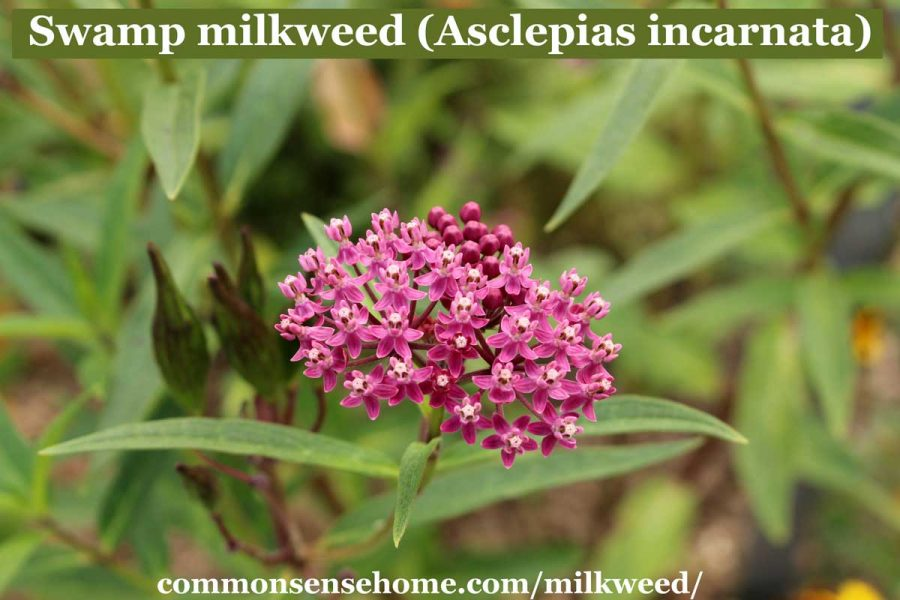 Asclepias incarnata flowers
