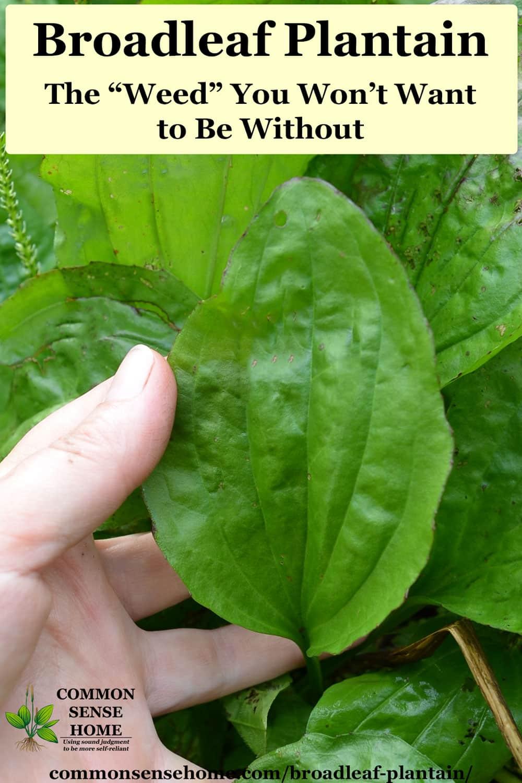 broadleaf plantain leaf