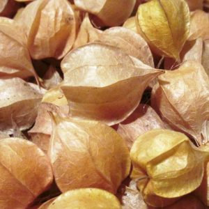 ground cherries in the husk