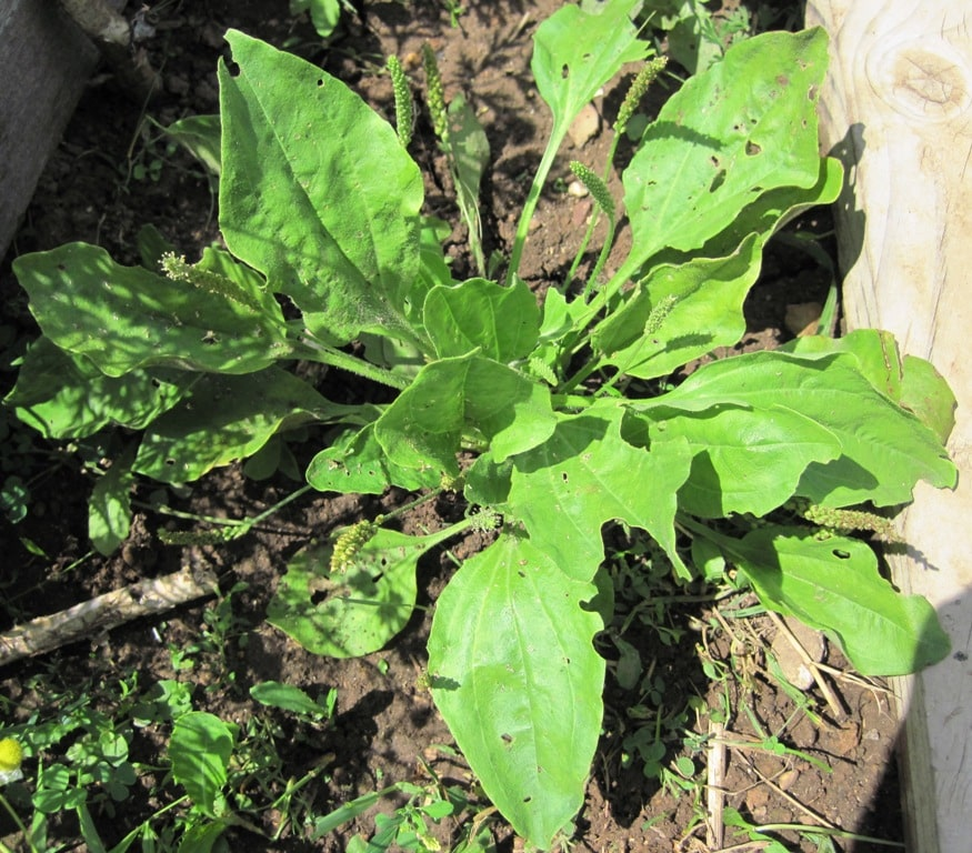 Common plantain - Range and identification of plantain. Plantain as food and habitat for wildlife. Medicinal uses of common plantain. Plantain folklore.