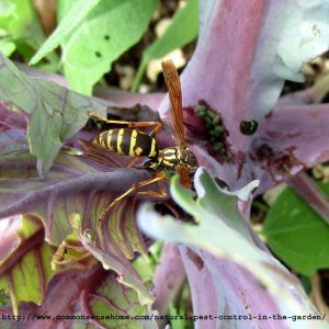 yellowjacket eating a cabbage worm
