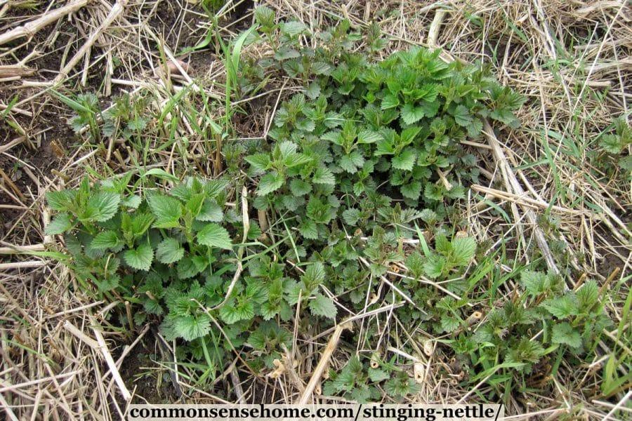 nettle plants