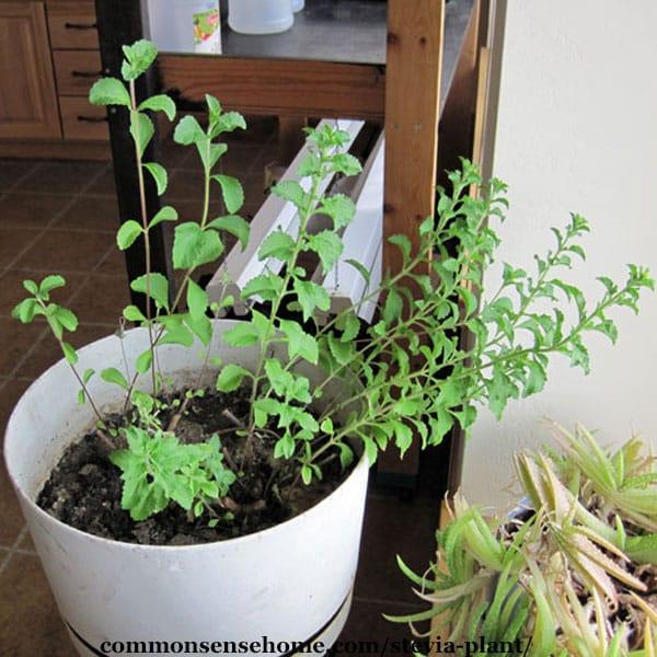 stevia plant in pot