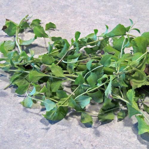 stevia for stevia extract