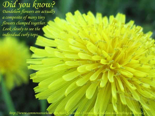 Common dandelion, Taraxacum officinale - range and identification, food for humans and wildlife, medicinal uses of dandelion.