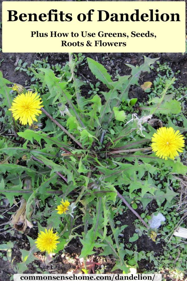 benefits of dandelion with dandelion plant