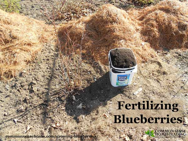 Quick guide to growing blueberries at home, plus detailed information to help you plant blueberries and produce your best blueberry harvest ever.