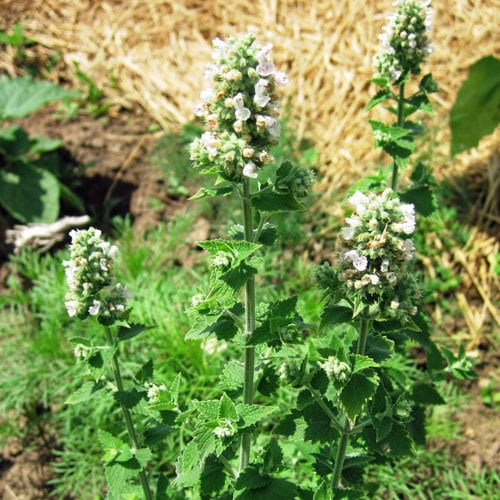 Weekly Weeder #19 - Catnip - Catnip identification and uses. Medicinal use of catnip. Use catnip to keep mosquitoes and rabbits away.