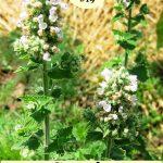 flowering catnip plants
