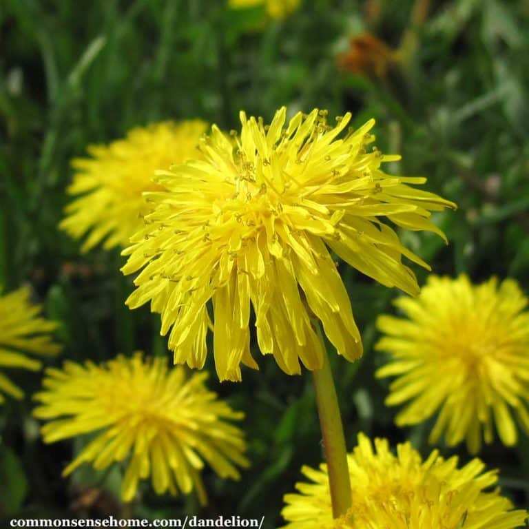 Benefits of Dandelion Plus How to Use Greens, Seeds, Roots & Flowers