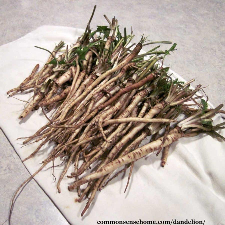 dandelion roots